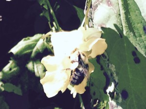 bee in jewelweed